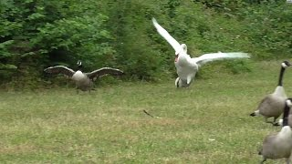 Download Swan attacks geese in water then on land. Video