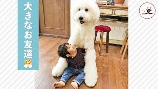 Download 大型犬のスタンダードプードルと過ごす、ほっこりな時間❤️【PECO TV】 Video