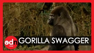 Download Gorilla learns to swagger like a man Video