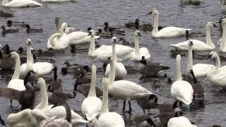 Download Wintering Trumpeter Swans Video