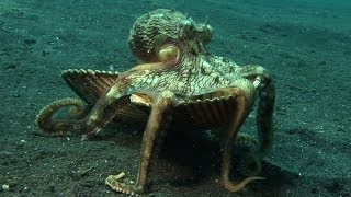 Download Introducing ″Kleptopus″, The Shell-Stealing Veined Octopus Video