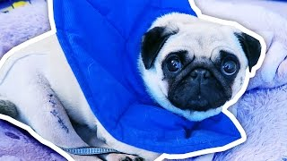 Download What happened to Ellie the Pug? Video