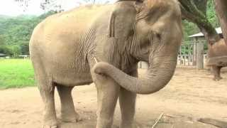 Download Do you know what makes an elephant feel good Video