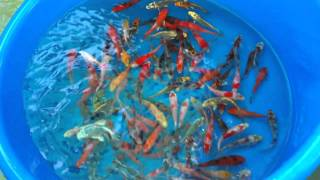 Download Our Koi Fish Farm's Proper Acclimation and Quarantine Process- 2 Video