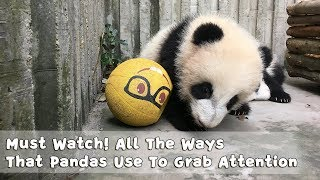 Download Must Watch 2 ! All The Ways That Pandas Use To Grab Attention | iPanda Video