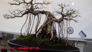 Download PAMERAN BONSAI LAMONGAN JAWA TIMUR Video