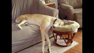 Download 「絶対笑う」最高におもしろ犬,猫,動物のハプニング, 失敗画像集 2018#11 Video