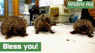 Download Cute baby hedgehogs sneezing Video