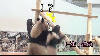 Download 【伝説の事件!?✨】あわてちゃった結浜🐼New遊具で大車輪ッ🎀💦【親子パンダ】Giant Panda -Yuihin&Rauhin-☆Large rotation Video