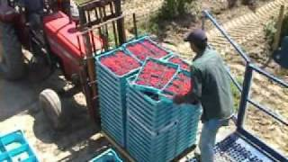 Download Washington Red Raspberry Harvest Video