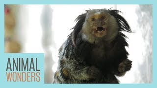 Download Mimi The Marmoset's Morning Routine Video