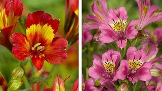 Download How to plant Alstroemeria: Guide to planting Peruvian Lily Video