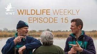 Download Wildlife Weekly Slimbridge - Episode 15 (Feat. Bill Oddie) Video