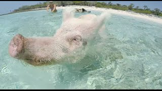Download SWIMMING PIGS BAHAMAS EXUMA Video