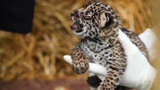 Download The Family Who Bought A Zoo: Cute Baby Jaguar Arrives Video