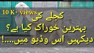 Download Kajly Ki bhtareen Khurak jis say wo mota ar sehat mand ho jaye..... Video