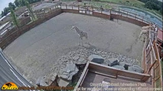 Download Giraffe Cam - Animal Adventure Park Video