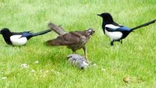 Download Sparrowhawk catches Wood Pigeon and is then harassed by two Magpies Video