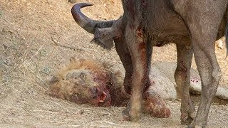 Download Life is Not Easy With The Lion King! Lions Failed to Control Prey, Buffalo, Zebra, Hyena, Crocodile Video