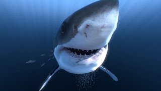 Download Great White Sharks 360 Video 4K!! - Close encounter on Amazing Virtual Dive Video