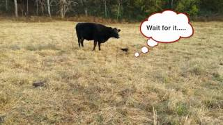 Download Don't Mess With A Momma Cow!!!!! Hilarious! LOL Video