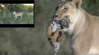 Download Lioness helps tigress to raise cubs Video