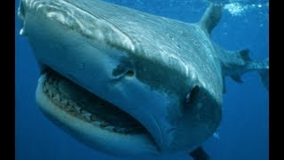 Download Tiger Shark - Legendary Thug Of The Sea Video