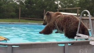Download Bear Swims Just Like a Kid and Loves to Belly Flop into Pool Video