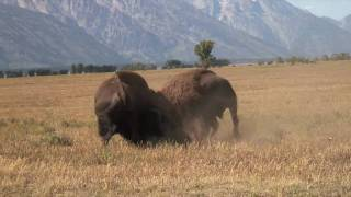 Download Incredible Bison Battle Video