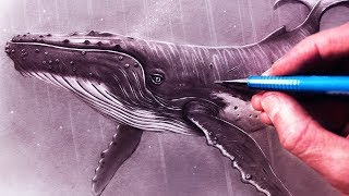 Download How to Draw a Humpback Whale Video