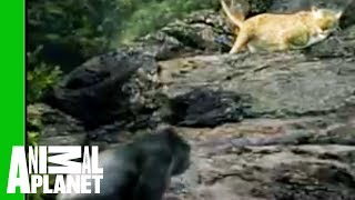 Download Gorilla vs. Leopard | Animal Face-Off Video