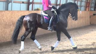 Download 12y old dressage stallion Intermediare I Video