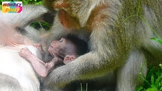 Download So sweet Timo milk mom and sleep well with Merri take care Tima & cute boy Timo | Monkey Daily 1705 Video