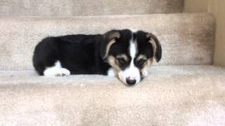 Download Corgi puppy going down stairs Video