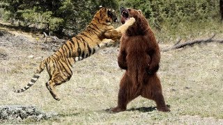 Download МЕДВЕДЬ В ДЕЛЕ! Медведь против льва, тигра, волка... Video