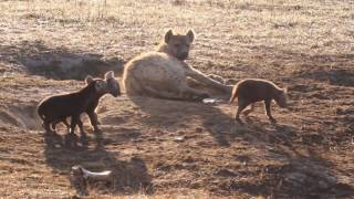 Download Funny hyena cubs playing in the morning sun (Ngorongoro Crater) Video