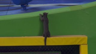 Download Cat shows off athleticism on outfield wall Video