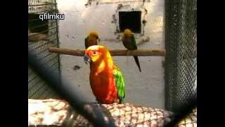 Download Papagáj komandó 2009 Video