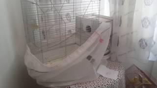 Download Muhabbet kuşuna yumurta vermeye çalışıyoruz Video