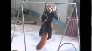Download Adorable Red Panda Funny Supercut Compilation 2014 Video