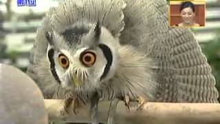 Download Meet the incredible Japanese transforming owl Video