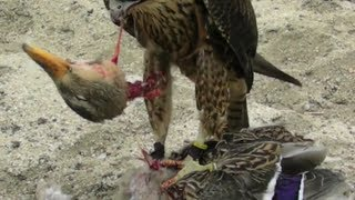 Download Falcon Decapitates Duck Video