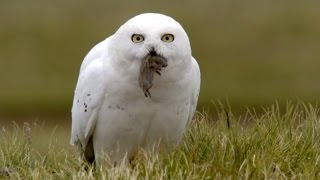 Download Snowy owl chicks chow down - Animal Super Parents: Episode 2 Preview - BBC One Video