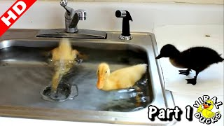 Download Baby Ducks Diving In The Sink LMAO! p1 Video