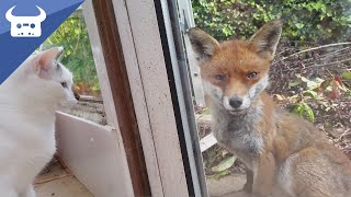 Download Me and my cats meet a wild fox. Real life Disney moment! Video