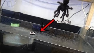 Download 고대어에게 타란튤라를 먹이로 줬더니..??반응은?? [정브르]/I fed a tarantula to an ancient fish. Video