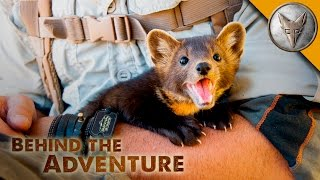 Download The Ever-Adorable Pine Marten Video