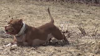 Download THE HULK LIFE: he survived a gunshot my miracle DOG! Video