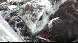 Download Tired Chick Takes a Nap On Red-tailed Hawk Cam – May 25, 2018 Video