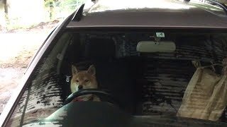 Download イタズラをして車で逃走しようとする柴犬 Shibe plays pranks and about to escape by car. Video